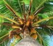 Kokosolja i Kokospalm.